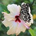Lime Butterfly on Flower.JPG