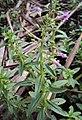 Limnophila aromatica 01.JPG