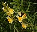 Linaria vulgaris 05 ies.jpg