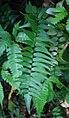 Lindsaea taeniata 1.jpg