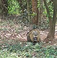 Lion (Asiatic).jpg