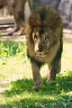 Lion Walking Forward (18662558679).jpg