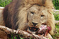 Lion feeding04 - melbourne zoo.jpg