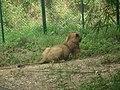 Lion from Bannerghatta National Park 8478.JPG
