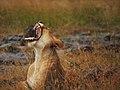 Lions @ Maasai Mara (20631560139).jpg