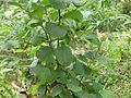Litsea monopetala north Bengal AJTJ.JPG