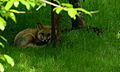 Little-fox-looking-eyes-green-grass-trees - West Virginia - ForestWander.jpg