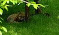 Little-fox-looking-eyes-green-grass-trees - West Virginia - ForestWander.jpg