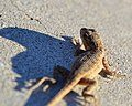 Little Yard Lizard (15100395091).jpg