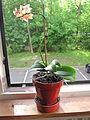 Little orchid D1205.jpg