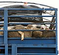 Live export - sheeps from Serbia on the way to Ramallah.jpg