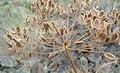 Lomatium dissectum var. multifidum mature seeds.jpg