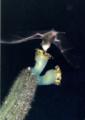 Lonchophylla mordax em Pilosocereus catingicola EARMLucena2007-2.png