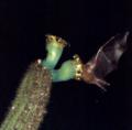 Lonchophylla mordax em Pilosocereus catingicola EARMLucena2007-3.png