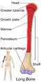 Long Bone (Humerus).png