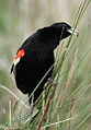 Longtailed Widowbird, Euplectes progne in early summer breading plumage at Rietvlei Nature Reserve, Gauteng, South Africa (15669396202).jpg