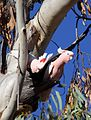 Lophocroa leadbeateri nesting - Christopher Watson.jpg