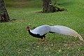 Lophura nycthemera -Mauritius -male-8a.jpg