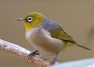 Lord Howe silvereye Subspecies of bird