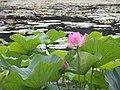 Lotuses (28610081040).jpg