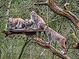"""Luchsfamilie im """"Wildpark Schwarze Berge"""".jpg"""