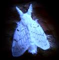Luminous Moth.png