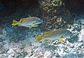 Lutjanus apodus (schoolmasters) (San Salvador Island, Bahamas) 2 (16156459896).jpg