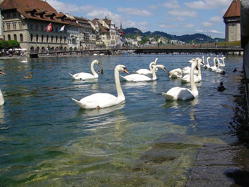 Archivo:Luzern-swans.jpg