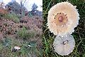 Macrolepiota hortensis, Syn. M. Bohemica (GB= Parasol,D= Gartenriesenschirmling, F= Lépiote vénéneuse, NL= Tuinparasolzwam), poisonous, at Posbank at 14 November 2014 - panoramio.jpg