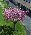 Magnolia angevin.jpg
