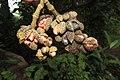 Magnolia champaca - Champa fruits at Peravoor 2014 (1).jpg