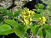 Mahonia aquifolium2.jpg