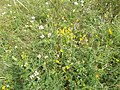 Majdanpola, flowering meadow, 2017 Pomáz.jpg
