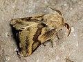 Malacosoma castrense ♂ - Ground lackey (male) - Молочайный коконопряд (самец) (41004265341).jpg