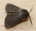 Male muslin moth - diaphora mendica (40408991910).png