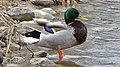 Mallard (Anas platyrhynchos), Male - Kitchener, Ontario 03.jpg