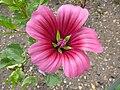 Malope trifida (Malvaceae) flower.JPG