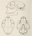 Mammals of northern Alaska on the Arctic slope (1956) Lynx canadensis canadensis skull.png