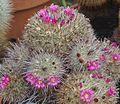 Mammillaria varieaculeata (19446537084).jpg