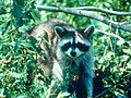 Mammoth Cave National Park RACCOON.jpg