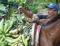Man Loading Plantains on Horseback - Balgue - Ometepe Island - Nicaragua (31797112295).jpg