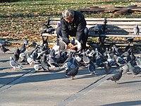 Голуби приручені людиною ред ред