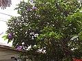 Manacá-da-serra - Tibouchina mutabilis - Jardins da Percepção - CDCC - USP - São Carlos - panoramio.jpg