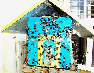 Stingless bee - A swarm of mandaçaias bees around an artificial beehive installed in a house´s backyard in Brazil