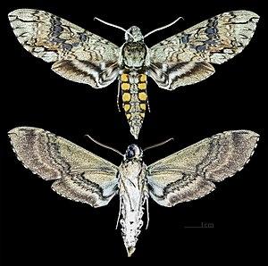 Manduca - Image: Manduca boliviana MHNT CUT 2010 0 105 Santa Cruz Department (Bolivia) male