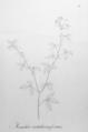 Manihot crotalariaeformis Pohl18.png