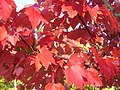 Maple Leaves - geograph.org.uk - 1003270.jpg