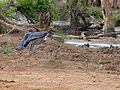 Marabou Stork (Leptoptilos crumeniferus) drinking ... (32346220752).jpg
