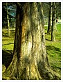 March Spring China Mamouth Tree Botanischer Garten Freiburg - Master Botany Photography 2013 - panoramio.jpg