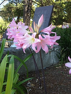 <i>Amaryllis</i> genus of plants